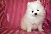 cute Pomeranian puppies ready to joint a new family.