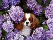 LOOKING FOR A CAVALIER PUPPY
