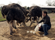Fertile ostrich and young chicks for sale