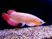 chili red arowana fish for sale