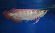 Silver ,  chilli red ,  xback and golden asian arowanas available