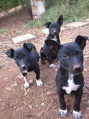 Lively Border Collie x Kelpie Pups