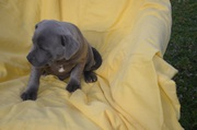 PURE BRED BLUE FAWN ENGLISH STAFFY PUPS.